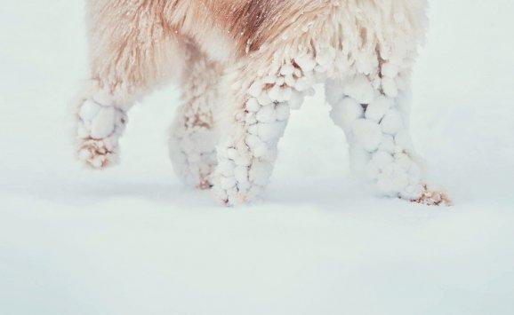 54f00a3a470 Na nohách sněhové koule psu nijak nevadí. Jakmile se ale vytváří na pacce  mezi jednotlivými prsty